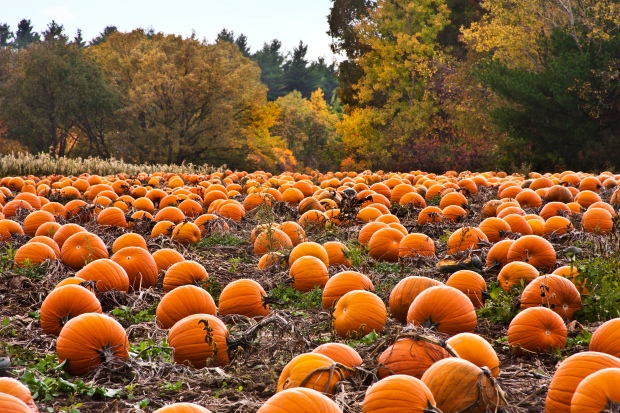Pumpkins--they are for so much more than jack-o-lanterns and hayrides (photo: pumpkin patch by liz west/Flickr Creative Commons)